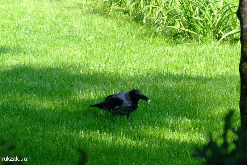 Армянская серая ворона