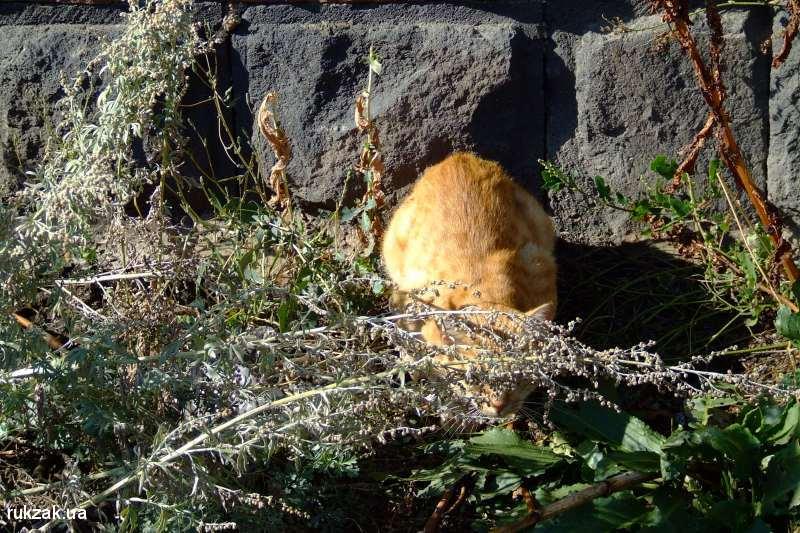 Севанский кот