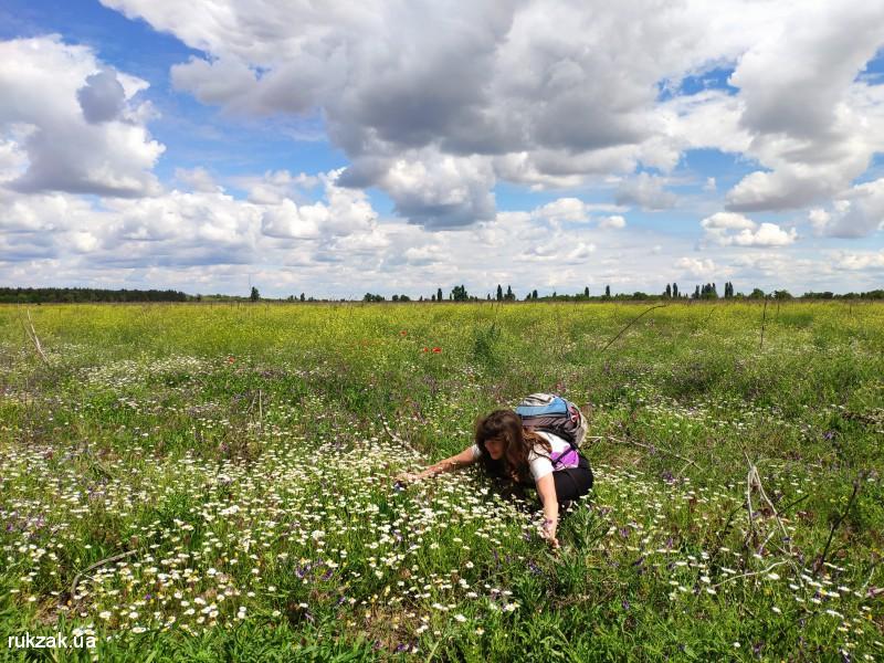 Поле с ромашками около Костогрызово